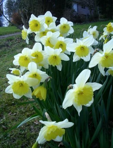زهرة النرجس  Narcissus Flowers 38020_01247654905